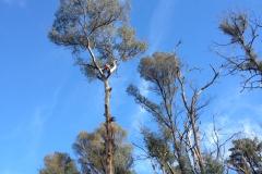 Tree Felling, Tree tops