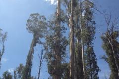 Tree Felling, Arborist high in tree
