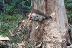 Tree Removal, Man in cut tree 1